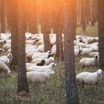 世界中の羊